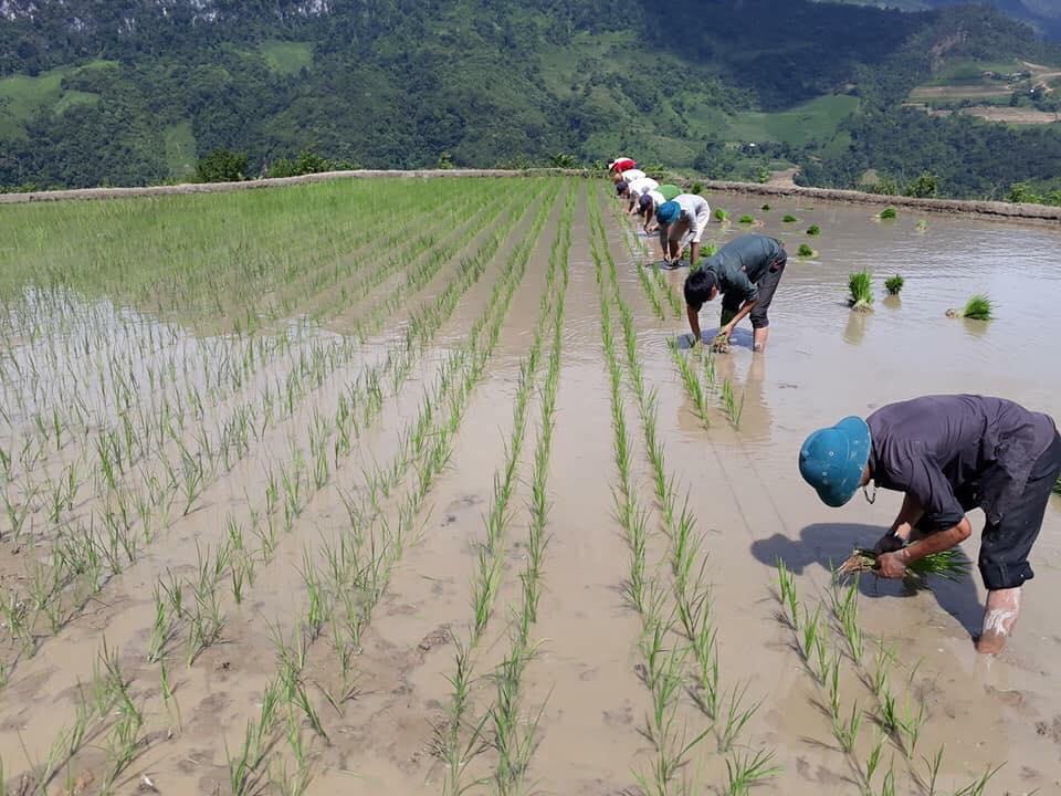 """nh 1 Người dân đang cấy vụ lúa hè thu - Đặc sắc Tết """"So lộc"""" của đồng bào dân tộc Tày - Nùng tại Cao Bằng"""