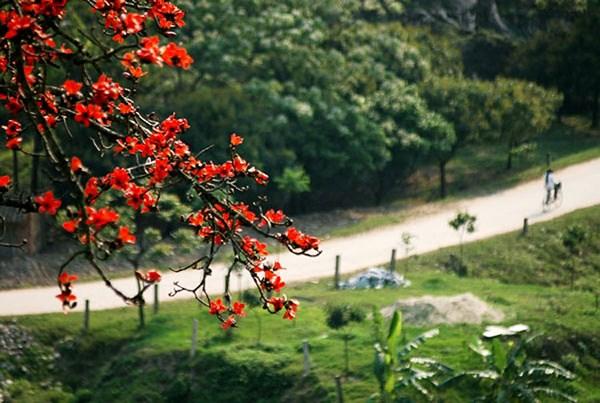 hoagao3 crbx - [Cuộc thi] Mùa hoa gạo năm ấy... - Tác giả Phù Lưu Chanh