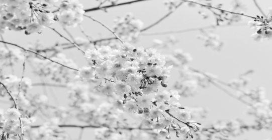 cherry tree 1225186 1280 - Xuân vắng mẹ cha - Tác giả Bùi Hiệp