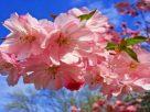 cherry blossom 3320018 640 136x102 - Tiễn biệt xuân - Thơ Trịnh Thanh Hằng