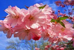 cherry blossom 3320018 640 305x207 - Tiễn biệt xuân - Thơ Trịnh Thanh Hằng