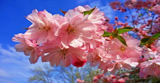 cherry blossom 3320018 640 - Tiễn biệt xuân - Thơ Trịnh Thanh Hằng