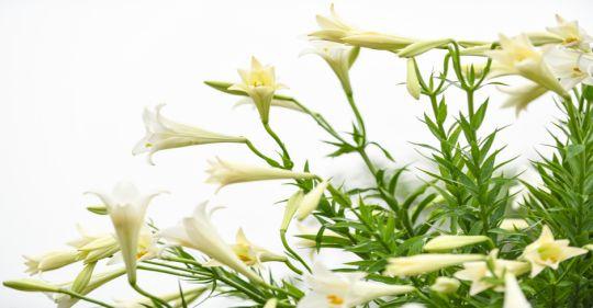 ha no i mu a hoa loa ke n vnexpress 2019 1 1554533187 680x0 - Ước mộng tháng tư - Thơ Cúc Hoa