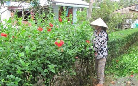 hoa dam but min - Nhớ hàng dâm bụt ngày xưa - Tản văn  Hồng Minh