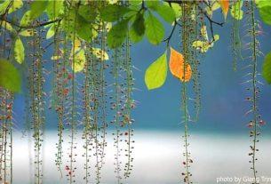 inbound662334818 305x207 - Nhớ một nét mùa thu Hà Nội - Thơ Cúc Hoa