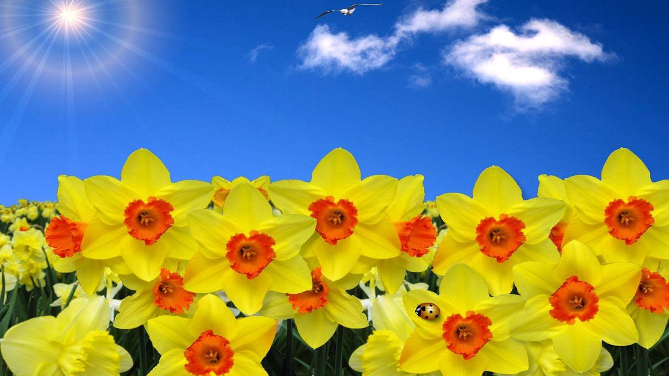 daffodils wallpaper 5 - William Wordsworth - Thi bá nước Anh