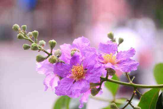 hoa bang lang tim y nghia2 - Hạ về trong sắc tím bằng lăng - Tản văn Hoàng Hồng
