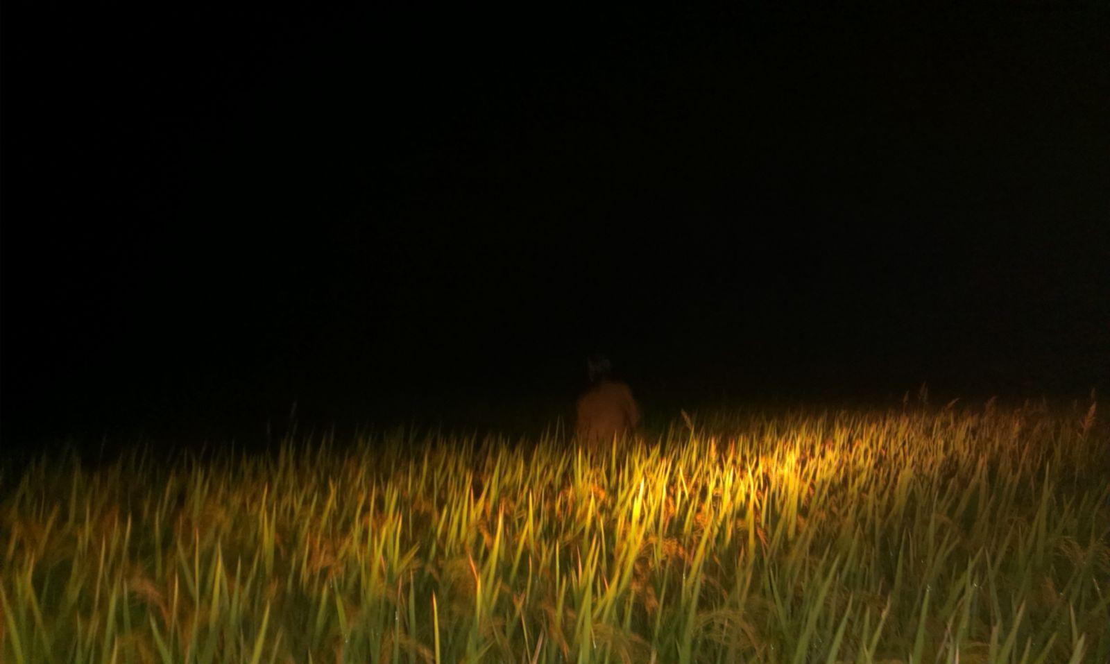 a1 - Nhớ mùa gặt lúa đêm - Tản văn Quang Định
